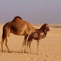 Mommy and baby. Camel farm near Al Khatim, Abu Dhabi.