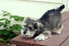 """""""What a pretty birdie!"""" #dogs #pets #Schnauzers #puppies Facebook.com/sodoggonefunny"""