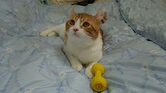 与作ちゃん、お布団大好き❗#cat