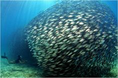 biomimicry KTH: Learning from fish schools
