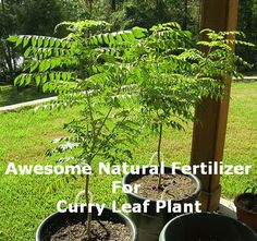 Learn how to grow curry tree or curry leaves plant. Growing curry leaves plant is easy though you need to fulfill a few basic requirements. Home Made Fertilizer, Fertilizer For Plants, Organic Fertilizer, Organic Gardening, Gardening Tips, Curry Leaf Plant, Curry Leaves, Container Plants, Container Gardening