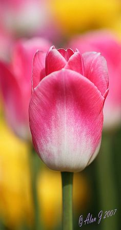Pink tipped tulips