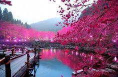 Вишневый сад вокруг озера, Япония. фото