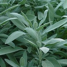 Sage for along the backyard fence near the raspberries