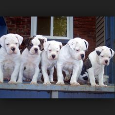 American Bulldog puppies. One day I will have one.