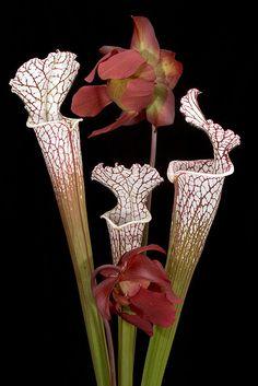 Sarracenia leucophylla, White Top Pitcher Plant, Redlist Vulnerable