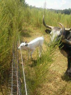 Cracker cow calf
