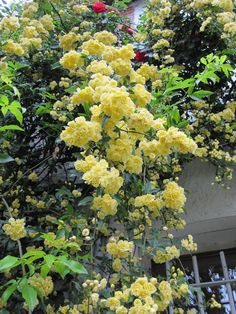 """Lady Banks Rose (climber w/support), thornless green canes, short bloom season, but what a spectacle when it's in """"cascade-mode."""" Garden of Matin Lumineux."""