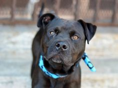 TO BE DESTROYED 8/14/14 Brooklyn Center -P My name is RICKY. My Animal ID # is A1009785. I am a male black and white pit bull mix. The shelter thinks I am about 1 YEAR 6 MONTHS old. I came in the shelter as a STRAY on 08/08/2014 from NY 11236, owner surrender reason stated was STRAY. https://www.facebook.com/Urgentdeathrowdogs/photos/a.611290788883804.1073741851.152876678058553/853384408007773/?type=3&theater