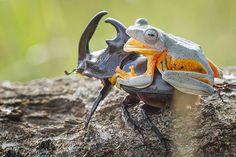 Cowboy-frog-09.jpg