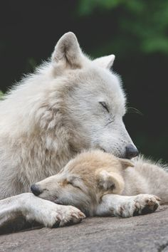 If only wolves were this nice to humans! How much the world would change! And how much my house would change!