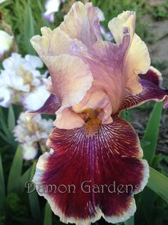 Iris Desert Dawn Song