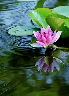 untitled | yuta | Flickr Water Lilies Painting, Lotus Painting, Lily Painting, Exotic Flowers, Beautiful Flowers, Lotus Flowers, Lotus Flower Pictures, Lily Pond, Aquatic Plants