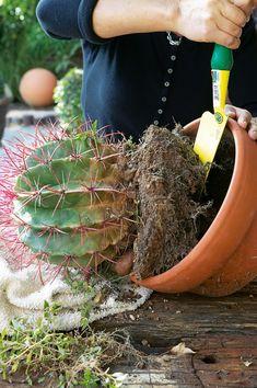 Garden Plants, Cactus, Succulents, Tips, Flowers, Gardening, Lawn And Garden, Succulent Plants, Royal Icing Flowers