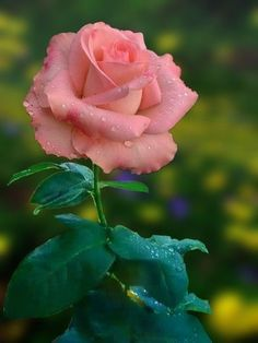 Beautiful Rose Flowers, Exotic Flowers, Amazing Flowers, Beautiful Flowers, Foto Rose, Bloom, Rose Pictures, Flower Wallpaper, Pink Roses