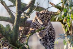 Jaguar Cub by Andy McGarry on 500px