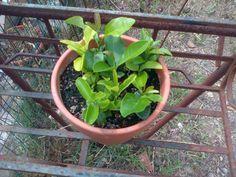 Come fare una pianta da appartamento con i semi di limoni e agrumi. Facilissimo! Ricicliamo i semi dei limoni e facciamo delle belle e profumate piantine...