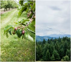 Pear tree and beautiful views of Mt. Hood in Oregon, Sakura Ridge farm and lodge