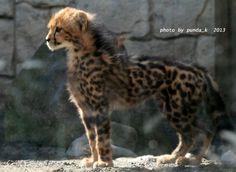 King Cheetah Cub