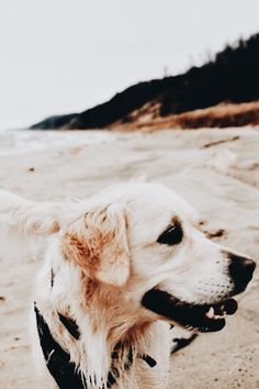 Loyal steered dog lovers Tour our Cute Puppies, Cute Dogs, Dogs And Puppies, Doggies, Baby Animals, Cute Animals, Dog Rates, Dogs Golden Retriever, Retriever Puppies