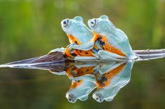 Romantic frog puts a protective arm around its companion The amorous pair of flying frogs were balanced on a branch in a pond and gazing soulfully into the distance when photographer Hendy Mp took this picture in West Kalimantan, Indonesia, last month Beautiful Creatures, Animals Beautiful, Cute Animals, Frog Pictures, Animal Pictures, Pet Frogs, Amazing Frog, Awesome, Funny Frogs