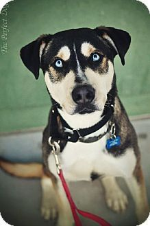 Pictures of True a Siberian Husky/Labrador Retriever Mix for adoption in Milpitas, CA who needs a loving home.