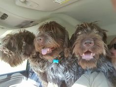 You're so lucky 3 dandy griffs! Baby Puppies, Dogs And Puppies, I Love Dogs, Cute Dogs, Italian Spinone, Griffon Dog, German Wirehaired Pointer, Zappa, Hunting Dogs