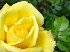 photos of roses | Flowers Pictures | Flowers Wallpapers | Red Roses
