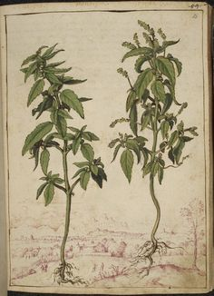 Mercury. These watercolors of herbs and plants useful to doctors are from an Italian edition of ancient Greek physician Pedanius Dioscorides' De Materia Medica, reissued with commentary, additional material, and new illustrations sometime between 1564 and 1584. From British Library collection.