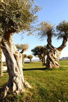 TRAVEL'IN GREECE I #Messinia - olivetrees. Photo: Olympia Krasagaki