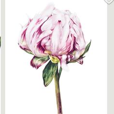 Peony Watercolour #peonies #peony #watercolor #watercolorpainting #watercolour #art #artwork #artprint #painting #florals #floralart #flowers #flowerprints #peonyart #etsy #etsyshop #etsyseller