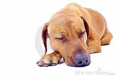 Rhodesian Ridgeback hound dog lying and sleeping with closed eyes isolated on white background, room for copyspace