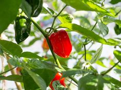 Suave Red chili pepper (from New Mexico State University). Capsicum chinense.