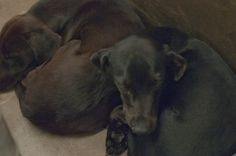 Urgent!!! Must be adopted before 7pm Thursday or will DIE!!! Lab mix male less than a year old  Kennel A10 Available NOW**** $51 to adopt   Located at Odessa, Texas Animal Control.  https://www.facebook.com/speakingupforthosewhocant/photos/pb.248355401855372.-2207520000.1411157298./843683475655892/?type=3&theater