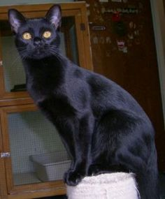 Bombay - The Bombay's sleek, glossy black coat and copper eyes make it resembly a miniature black panther. It was developed from the Burmese and black American Shorthair breeds and exhibits the muscular body type of the Burmese. I Love Cats, Crazy Cats, Cute Cats, Pretty Cats, Beautiful Cats, Bombay Gato, Black American Shorthair, Popular Cat Breeds, Mother Cat