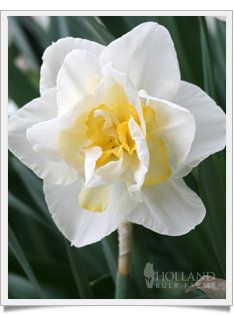 dick wilden daffodil | white lion double daffodil