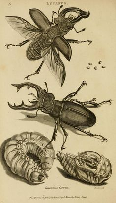 Antique print: Stag beetle - Lucanus cervus, from America from Zoology by George Shaw Insect Print, Animal Art, Sketches, Animal Drawings, Drawings, Scientific Illustration, Insect Art, Art, Beetle Illustration