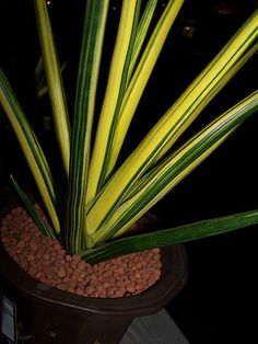 Sansevieria erythraeae variegated | by GREGORIUZ
