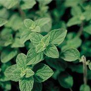 MARJOLAINE NT Plant Leaves, Vegetables, Plants, Nutrition, Google, Gardens, Grasses, Vegetable Gardening, Perennial