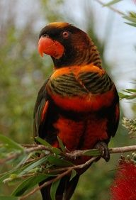 dusky lory Kinds Of Birds, All Birds, Love Birds, Tropical Birds, Exotic Birds, Colorful Birds, Pretty Birds, Beautiful Birds, Animals Beautiful