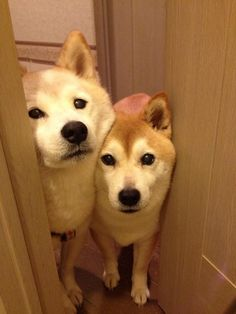 *Heavy Breathing* 'Was this supposed to be a private activity? Because the door was cracked, so I let myself in.' They look just like my Shibas!