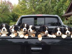 Bernese Mountain Dog puppies in a truck
