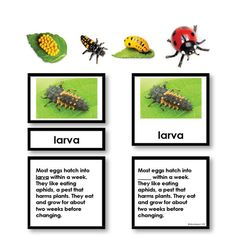 Our Ladybug Life Cycle Activity Set is fun for all ages. Your younger students will enjoy the colorful photos and fun replicas while your older students will benefit from the label and description cards!