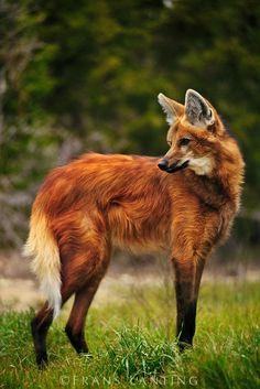 Wolf Photography, Wildlife Photography, Rare Animals, Funny Animals, Strange Animals, Big Animals, Beautiful Creatures, Animals Beautiful, Animals Amazing