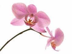 Een orchidee staat voor: liefde, charme, aanhankelijkheid, schoonheid, luxe, wijsheid en begrip.