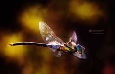 Dragon / fly by Dariusz Lakomy, via 500px