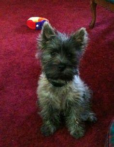 Love, Miller Cairn Terrier