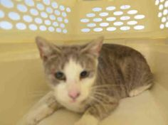 RANDI - A1048681 - - Brooklyn ***TO BE DESTROYED 08/28/15***DANDY RANDI NEEDS RESCUE ANGEL! Five year old grey and white angel Randi was another poor cat scooped up in a trap and dumped at the kill happy shelter. Upon intake, she tolerated handling, even after escaping from her trap. Once upon a time, this scared kitty may have known love, once upon a time. She may have known nice food, a predictable routine, and a soft bed. Those days are long in the past. The recent days