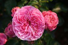 1000 images about roses on pinterest floribunda roses. Black Bedroom Furniture Sets. Home Design Ideas
