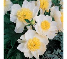 Paeonia Cheddar Charm  Rounded, pure white guard petals of 'Cheddar Charm' hold a glowing tuft of golden stamens that resemble the tentacles of a Sea Anemone. These flowers are held above a vigorous plant with lush foliage and strong stems. A light, delicate fragrance is the finishing touch. Blooms in midseason.